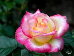 Пропонуємо великий асортимент саджанців троянд оптом та роздріб